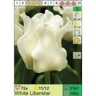 Тюльпаны White Liberstar (x100) 11/12 (цена за шт.)