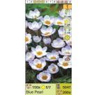 Крокус ботанический Blue Pearl (x200) 5/7 (цена за шт.)