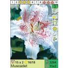 Лилии Muscadet (x30) 16/18 (цена за шт.)