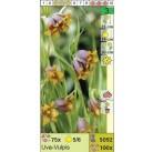 Рябчик Uva-Vulpis (x100) 5/6 (цена за шт.)