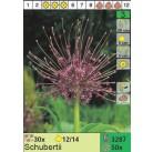Лук Schubertii (x50) 12/+ (цена за шт.)