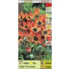 Тюльпаны ботанические Little Princess (x150) 6/+ (цена за шт.)