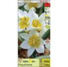 Тюльпаны ботанические Polychroma (x150) 6/+ (цена за шт.)
