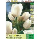 Тюльпаны Weisse Berliner (x100) 11/12 (цена за шт.)