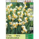Нарциссы Canaliculatus (x100) 10/12 (цена за шт.)