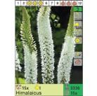 Эремурус Himalaicus (x15) I (цена за шт.)