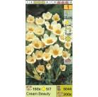 Крокус ботанический Cream Beauty (x200) 5/7 (цена за шт.)