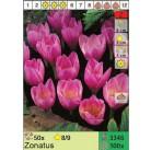 Крокус осеннецветущий Zonatus (x100) 8/9 (цена за шт.)