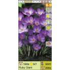 Крокус ботанический Ruby Giant (x200) 5/7 (цена за шт.)