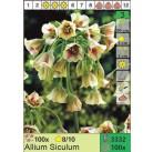 Лук Siculum (x100) 8/10 (цена за шт.)