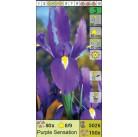 Ирисы датские Purple Sensation (x150) 8/9 (цена за шт.)