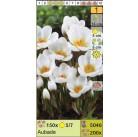 Крокус ботанический Aubade (x200) 5/7 (цена за шт.)