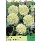 Лук Ivory Queen (x50) 12/14 (цена за шт.)