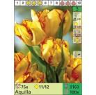 Тюльпаны Aquilla (x100) 11/12 (цена за шт.)