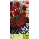 Тюльпаны ботанические Hageri (x150) 5/+ (цена за шт.)
