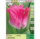Тюльпаны Liberstar (x100) 11/12 (цена за шт.)