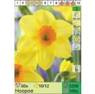 Нарциссы Hoopoe (x100) 10/12 (цена за шт.)