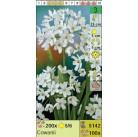 Лук Cowanii (x100) 5/+ (цена за шт.)