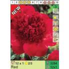 Пионы Red (x12) 2/3 (цена за шт.)
