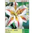 Лилии Arena (x30) 16/18 (цена за шт.)
