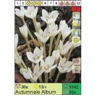 Безвременник Autumnale Album (x30) 13/+ (цена за шт.)