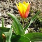 Тюльпаны Cape Town
