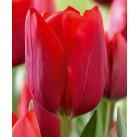 Тюльпан простой поздний Sorbet 12/+, шт