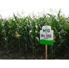 Семена кукурузы гибрид F1 MV 350