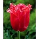 Тюльпан бахромчатый Burgundy Lace 12/+, шт