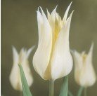 Тюльпан лилиецветный Red Shine 11/12, шт