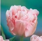 Тюльпан махровый поздний Antraciet 12/+, шт