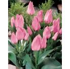Тюльпан многоцветковый низкорослый Orange Toronto 11/12, шт