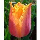 Тюльпаны Hamilton