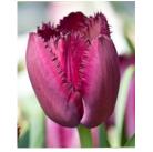 Тюльпаны Curly Sue (x5) 10/11 (цена за упаковку)