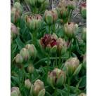 Тюльпаны Boa Vista