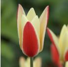 Тюльпаны ботанические Tarda (x150) 7/8 (цена за шт.)