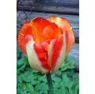 Тюльпаны American Dream