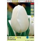 Тюльпаны  Antartica (x5) 11/12 (цена за шт.)