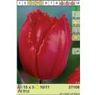Тюльпаны Arma (x5) 10/11 (цена за упаковку)