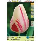Тюльпаны Burning Heart (x5) 11/12 (цена за шт.)