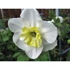 Нарцисс разрезнокорончатый Papillon Blanc 12/14, шт