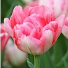 Тюльпаны Foxtrot