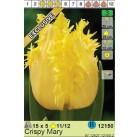 Тюльпаны Crispy Mary (x5) 11/12 (цена за шт.)