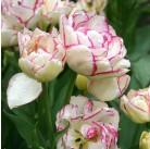 Тюльпаны Belicia 12/+