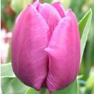 Тюльпаны  Purple Prince (x5) 11/12 (цена за шт.)