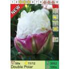 Тюльпаны Double Polar (x100) 11/12 (цена за шт.)