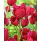 Тюльпан многоцветковый Gipsy Love 12/+, шт