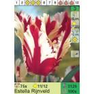 Тюльпаны Estella Rijnveld (x100) 11/12 (цена за шт.)