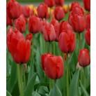 Тюльпаны Red Impression (x100) 11/12 (цена за шт.)