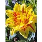 Тюльпаны Monsella